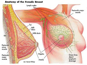 breast-anatomy